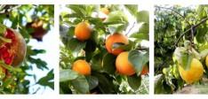 Granadas, Caquis, Membrillos,…los frutos del otoño.