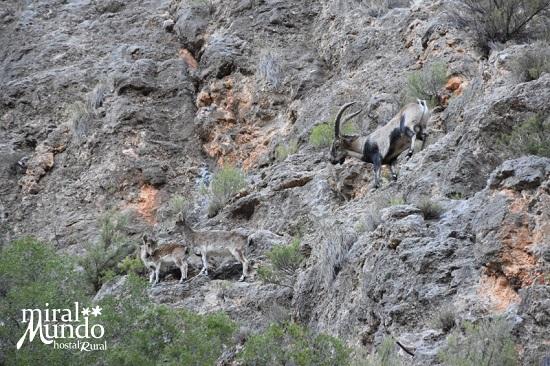 Cabra Montesa - Ecoturismo en Albacete