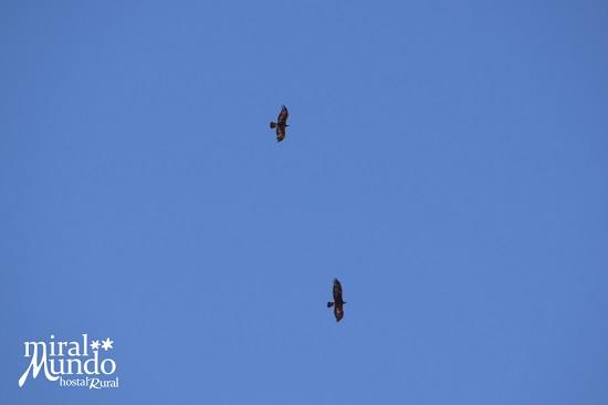 Ornitologia en Albacete - Águila real - Miralmundo