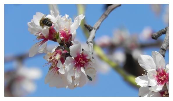 La primavera en Ayna, Almendros_en_flor