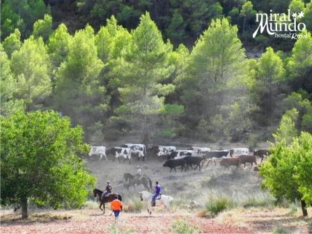 Encierros en Albacete 2015 - campo - Miralmundo
