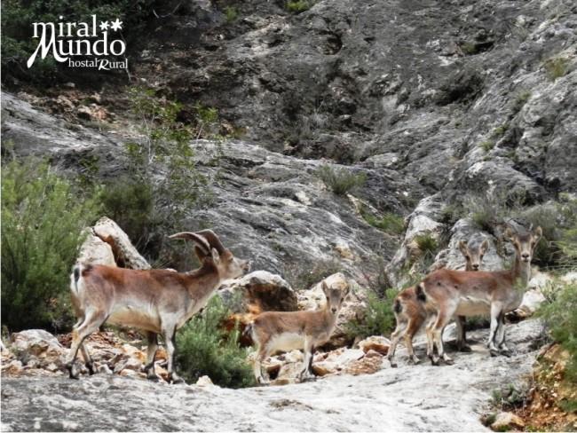 Otoño en la Sierra del Segura celo cabra montes