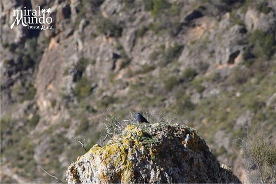 Ornitología en Albacete - Roquero solitario - Miralmundo