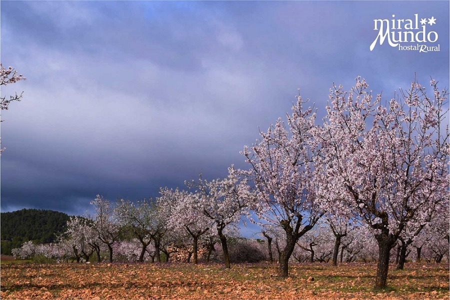Floracion del almendro en la Sierra del Segura